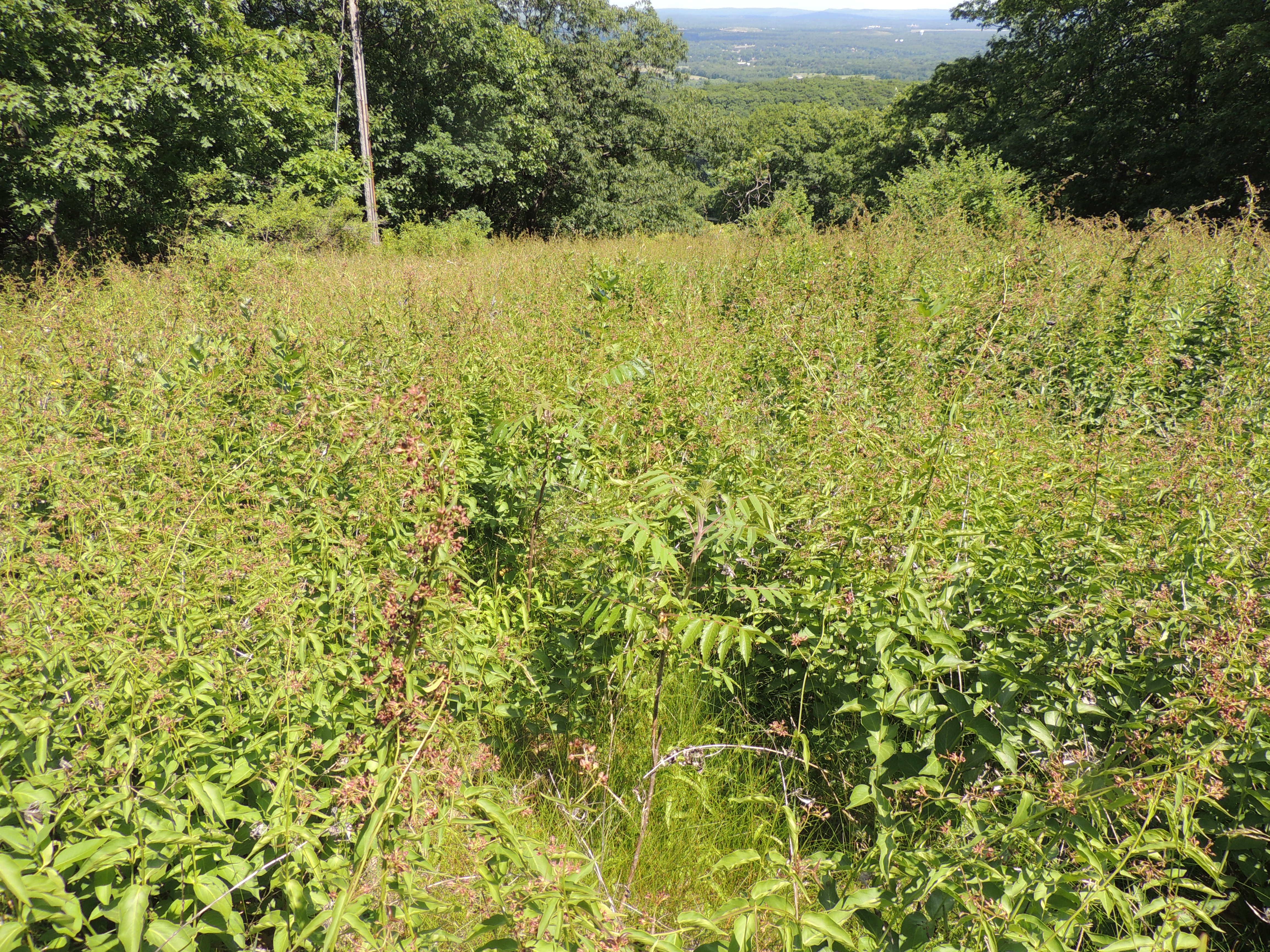Black Swallwwort On Mount Tom